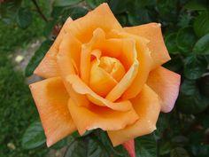 RP: 'Louis De Funes' Hybrid Tea Orange Blend Yellow Reverse Mild Fragrance Meilland Roses