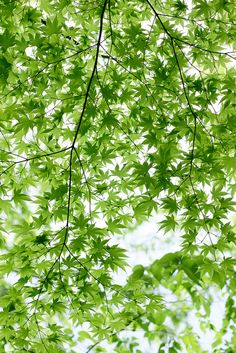 green of maple by peaceful-jp-scenery, via flickr