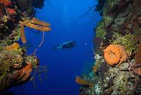 Half Moon Caye, Lighthouse Reef, Belize, May 2012. Large Barrel Sponges and fan corals. Belize offers a great variety of reef types and divi...