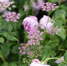 Pimpinella rosea. A perfect companion to roses, beautiful in bouquets. Claus Dalby.