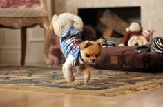 'Walkies!': Jiff, the 4-year-old Pomeranian, walks on his two front legs in his Los Angeles home. Jiff blazed into the 60th edition of the Guinness World Records book due out Sept. 10, 2014 after running 10 metres (9.1 yards) on his hind legs in 6.56 seconds and 5 metres (4.55 yards) on his front paws in 7.76 seconds. Picture: AP Photo/Guinness World Records, Kevin Scott Ramos