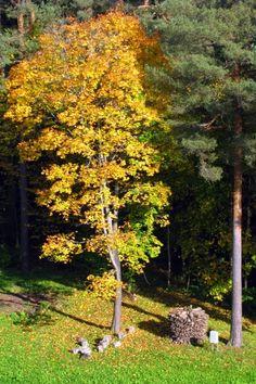 Nature of Latvia. Autumn. Ligatne, Latvia.