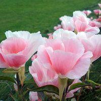Pretty Pastel Pink Flowers