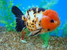 Lionhead vs Ranchu Goldfish | Goldfish Pictures and Gallery - Ranchu , Lionchu, and Lionhead ...