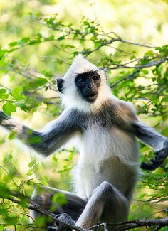 Monkey, Kandalama Tank, Sri Lanka #VisitSriLanka