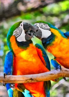 Catalina macaws