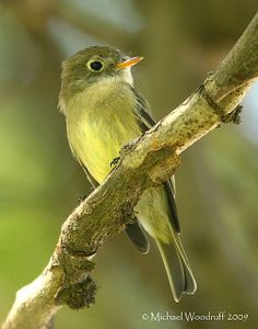 Yellow-bellied Flycatcher | photo