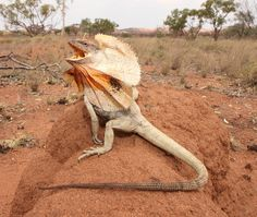 The Frill-necked Lizard (Chlamydosaurus kingii) gets its name obviously from the large frill around its neck which is connected to its jawbone by long spines of cartilage.