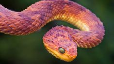 This is not cg, but an African bush viper; a highly venomous snake that carries its unborn babies internally instead of laying eggs. Pretty Snakes, Cool Snakes, Colorful Snakes, Beautiful Snakes, Beautiful Creatures, Animals Beautiful, Cute Animals, Wild Animals, African Bush Viper