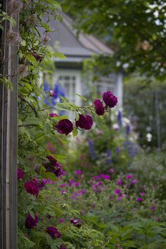 flowersgardenlove:  My favorite colours. Beautiful gorgeous pretty flowers