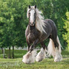 dapple silver Draft horse :: Gypsy Vanner Horse stallion