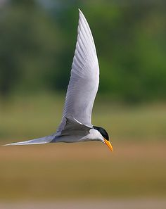 River tern | Flickr - Photo Sharing!