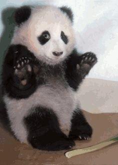 Panda Family Animals Giff #4991 - Funny Panda Giffs| Funny Giffs| Panda Giffs