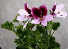 Pelargonium 'Wychwood'