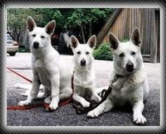 Absolutely LOVE my white german shepard.  (just a pic found on google.)