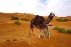 Depois da primeira etapa, tínhamos pela frente outra grande jornada, desta vez para chegar ao deserto de Merzouga, no final do dia. Leiam aqui. Grande, Camel, Animals, Travel Photography, Morocco, Camper, Animales, Animaux, Camels