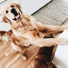 cc315bee604 Cute Puppies, Cute Dogs, I Love Dogs, Dogs And Puppies, Doggies, Golden  Retrievers, Quatro Patas, Dog Lovers, Dog Breeds