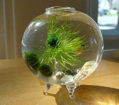 My Zen // marimo ball and air plant terrariums Air Plant Terrarium, Terrariums, Terrarium Ideas, Another Green World, Underwater Plants, Marimo Moss Ball, Planted Aquarium, Water Garden, Plant Care