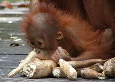 Baby orangutan eating in Indonesian Borneo.