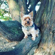 Nothing to see here just hanging out in this tree.................keep moving along  lol x #love_my_dog #mansbestfriend #tiny #tinyfurbaby #smalldogs #smalldogsofinstagram #funny #funnydog #yorkie #yorkielove #yorkshirelovers #yorkshireterrier #yorkshireterrior #tinyfurbaby #bestdogever #dog #dogsofinstagram  Photo By: hevanne12  http://bit.ly/teacupdogshq
