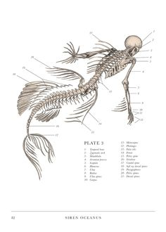Scientific Illustration | ulaulaman: The anatomy of a mermaid from The...