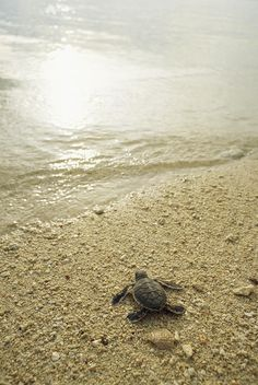 A Newly Hatched Green Sea Turtle Making Photograph  - A Newly Hatched Green Sea Turtle Making Fine Art Print