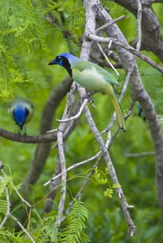 Green Jays at  Laguna Atascosa National Wildlife Refuge - Photo: C.V. Vick, USFWS    ..z