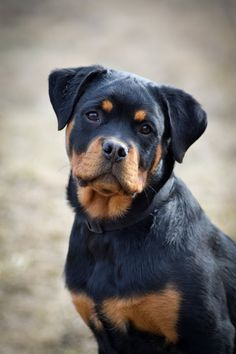 """Get terrific suggestions on """"Rottweiler puppies"""". They are accessible for you on our web site. Rottweiler Pictures, Rottweiler Love, Rottweiler Puppies, Cute Puppies, Dogs And Puppies, Beagle, Pet Dogs, Dog Cat, Doggies"""