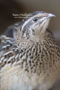 A Japanese coturnix quail