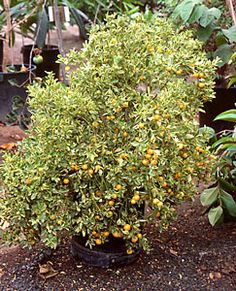 Gardening Articles ::Container grown fruit trees:: National Gardening Association