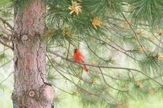 Beauty of the Cardinal