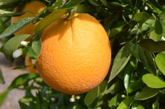 California Citrus Fruits Photos, Plantar, Spring Fruits, Orange, Washington, California, Shopping, Fruit Garden, Vivarium