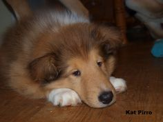 Our Sleepy collie puppy, Ryder