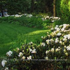 A garden design located in NY featuring white Rhododendron.  Landscape, garden design, swimming pool, masonry design and construction services in the NY and NJ areas.  Summerset Gardens Elegant Landscape Design, Fine...