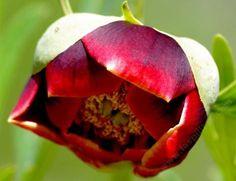 Paeonia californica, California Peony  - grid24_12