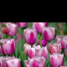 Purple white tulips