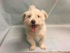 CANDIDO – A1098274  NEUTERED MALE, WHITE, MALTESE MIX, 2 yrs RETURN – ONHOLDHERE, HOLD FOR ID Reason BITEPEOPLE Intake condition UNSPECIFIE Intake Date 12/21/2016, From NY 11418, DueOut Date 12/21/2016