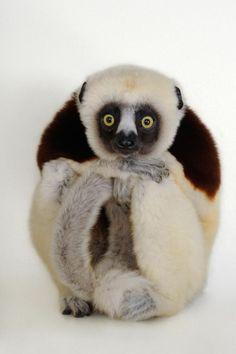 Lemur by Joel Sartore/National Geographic