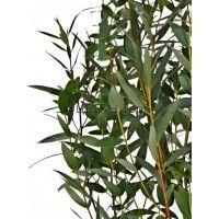 Эвкалипт (Parvifolia Eucalyptus)