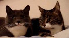 De här två konverserande katterna vet hur man drar till sig uppmärksamhet. Hör bara på dem. Undrar vad de pratar om?