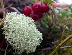 Lingon berry in the forests of #SwedishLapland in #Miekojärvi want to pick them on your own and make jam?? It´s a really relaxing activity!  http://www.8seasons4women.com/ruska-indian-summer-in-lapland/