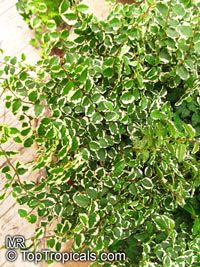 Ficus pumila (repens) - Climbing Fig, variegated  Click to see full-size image