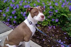 staffy Husky, Staffordshire Terriers, Pit Bull Love, Love Pet, Working Dogs, Training Your Dog, Photo Displays, Dog Breeds, Pitbulls