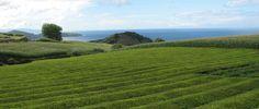 Drink je graag groene thee? Biologische, gezonde #thee? biologische theeplantage Azoren Europa´s oudste theeplantage Gorreana (1883) op het Portugese eiland São Miguel. De plantage is vrij te bezichtigen en al vijf generaties in handen van dezelfde familie. Gratis biologische theeproeverij voor de liefhebbers. http://www.deliportugal.com/en/catalog/tea-65291#