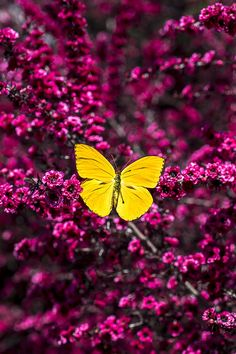 Yellow Butterfly On Red Flowering Bush by Garry Gay