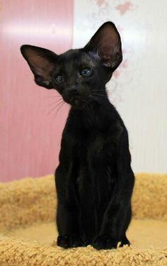 Black Oriental. How beautiful, a Bat Cat.
