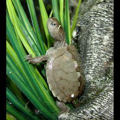 Mississippi Map Turtle (Graptemys pseudogeographica kohni)
