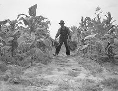Farmer cropping tobacco, eastern North Carolina, August 1946, Conservation and Development Department, Travel and Tourism photo files, State Archives of North Carolina.