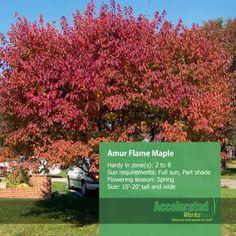Takako azamis plum and maple trees essay