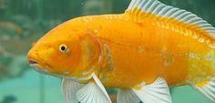 goldfish-470x226-tierisch-gut-magazin